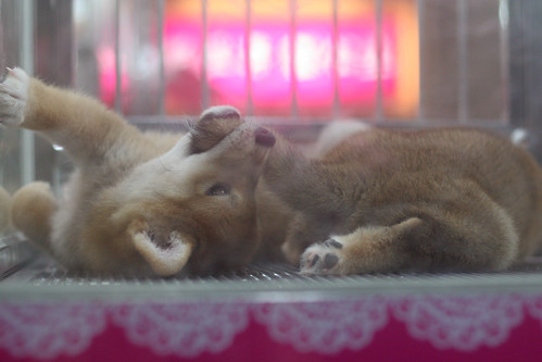 20130818 Pet store Shiba puppies know how to sell themselves