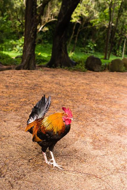 Les coqs de Kauai !