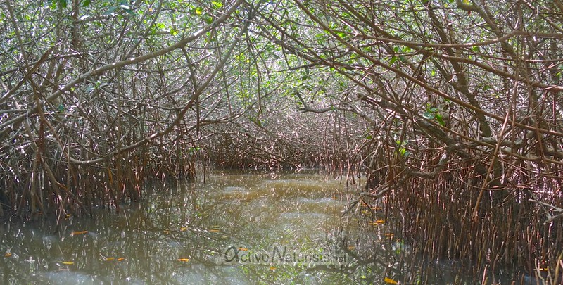 naturist 0011 red and white mangroves, Progreso, Yucatan, Mexico