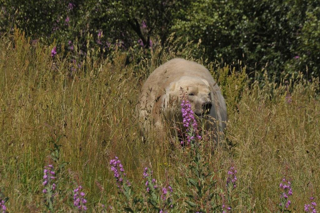 Eisbär Walker im Highland Wildlife Park