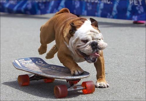 Skateboarding Dog by roachboswell