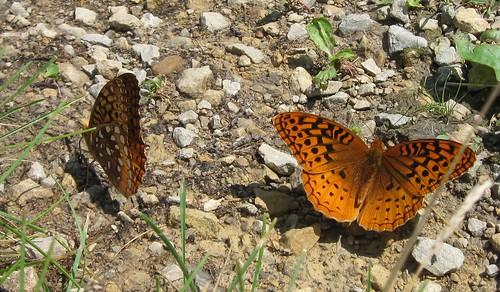 Fritillaries (Speyeria sp.)