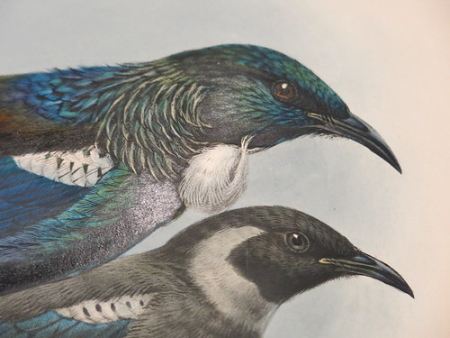 A History of the Birds of New Zealand (1873) by Walter Buller