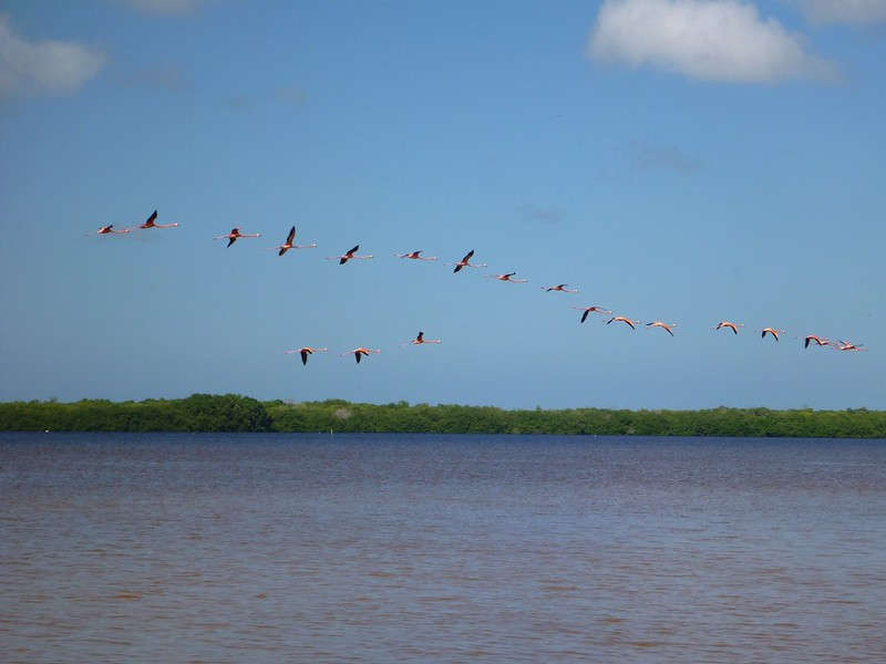 Flamingos at Celestun, Yucatan