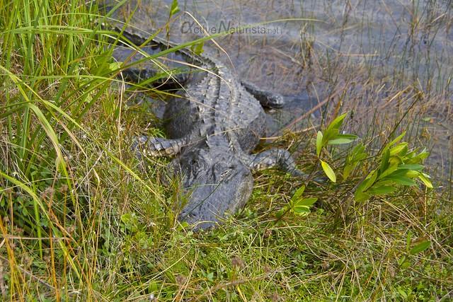 alligator 0002 Everglades, Florida, USA