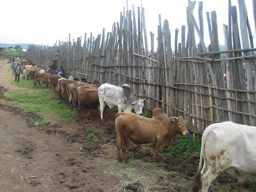 Humbo livestock market, SNNPR (Photo:ILRI\Yoseph Mekasha)