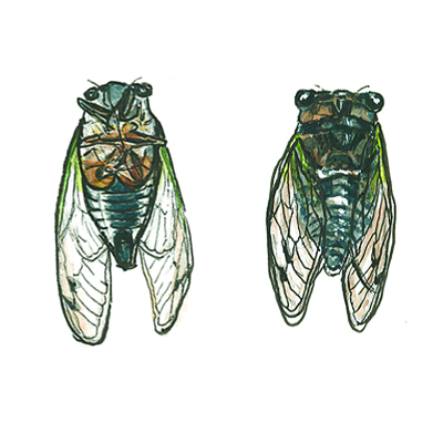 20130818_cicada_front_back