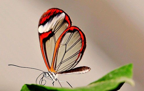 A Glass winged butterfly
