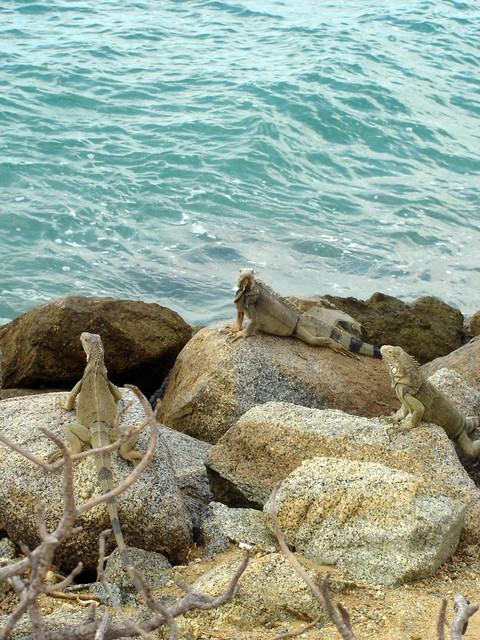 aruba iguanas