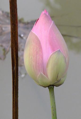 Lotus Flower Bud Growing in the Mekong River Delta