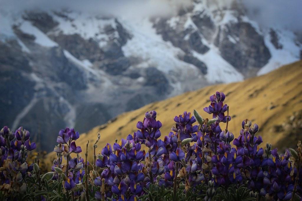 Flowering lupines at the foot of  Nevado Ulta (5875m). Huascaran National Park. Cordillera Blanca. Peru.