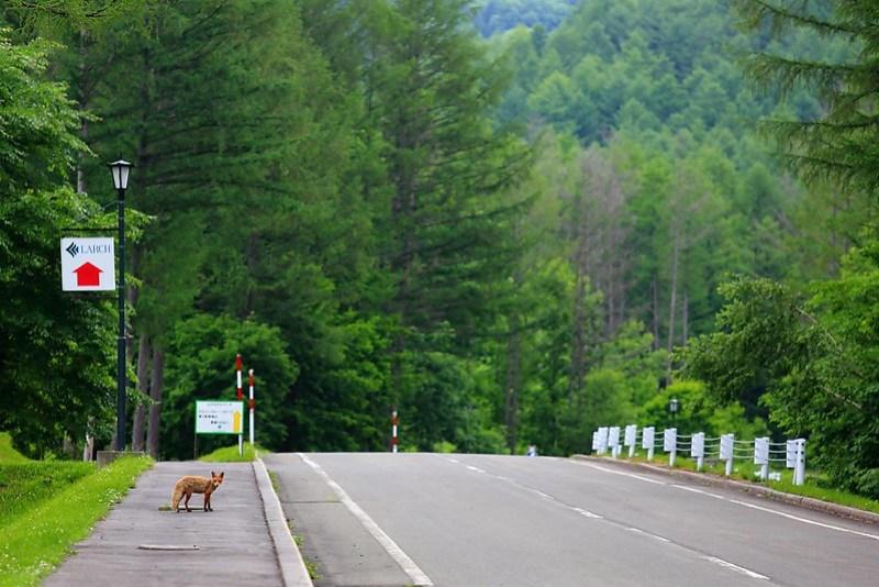 金山湖LARCH旁的小狐狸