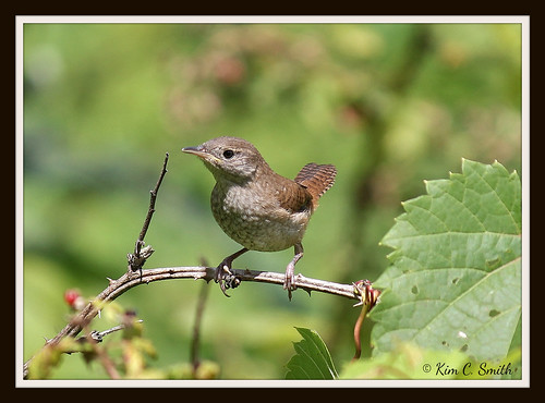 Juvenile House Wren by Michigan Kim (NatureIsMyTherapy.com)