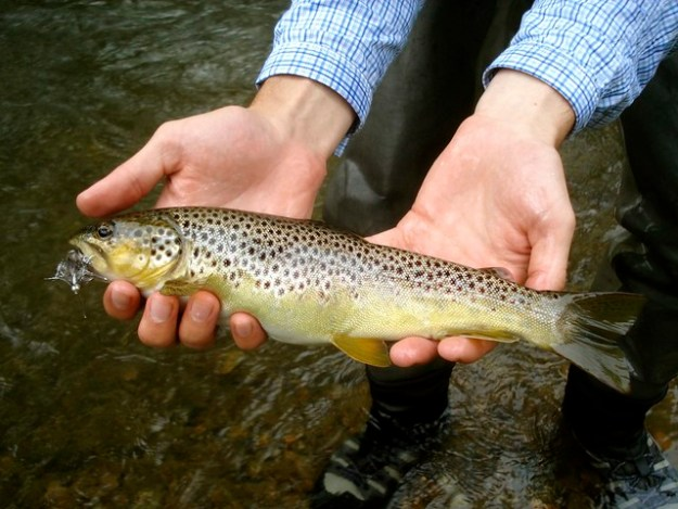 Wild Brown Trout in the Mid-Atlantic