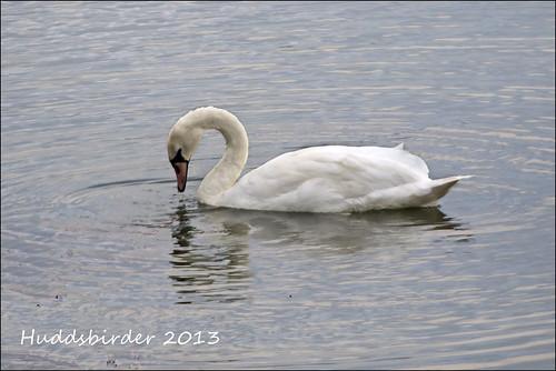 Mute Swan Senior