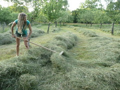raking hay windrows