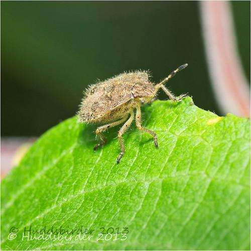 Hairy (sloe) Shieldbug 32/52