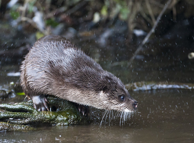 a very alert and pointy-nosed European otter peers across a creek.