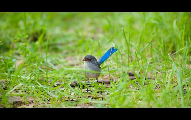 Blue Wren, Southwest Australia