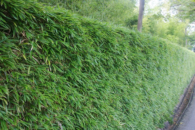 Bamboo Grass Hedge