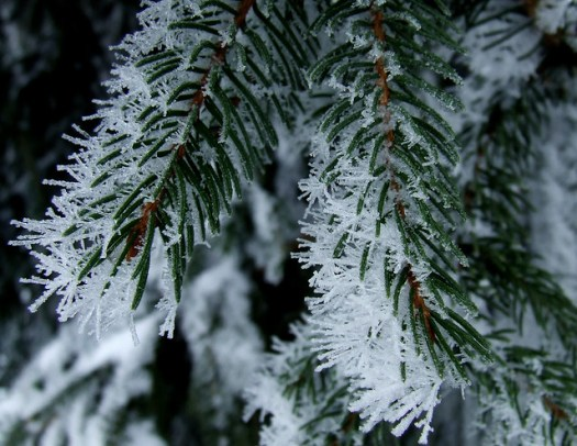 ice-fogged Norway spruce