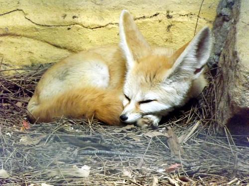 Small Fox