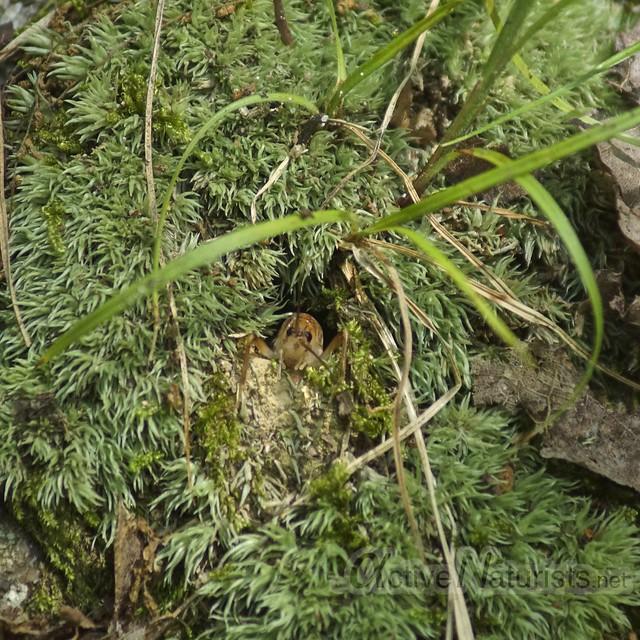 ichneymon wasp, spider, cricket 0001 Harriman State Park, NY, USA