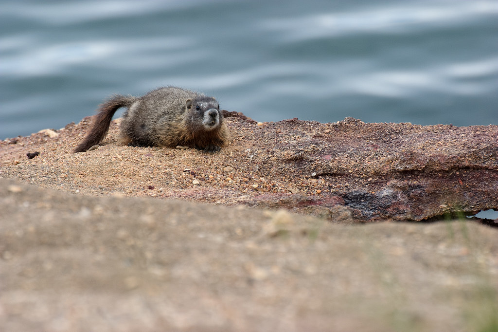 A yellow-bellied marmot sits on a rock cliff overlooking Yellowstone Lake