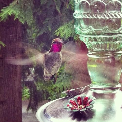 Male Anna's Hummngbird