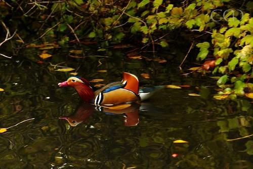 Mandarin duck...