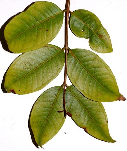 Syzygium xerampelinum DSC_0163 (2)