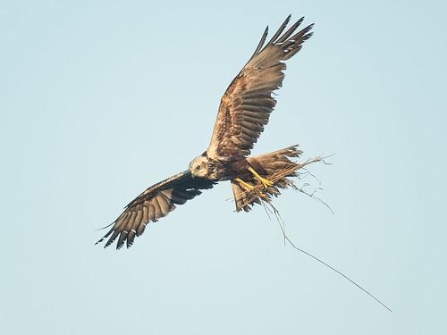 Male Marsh Harrier gathering nest material