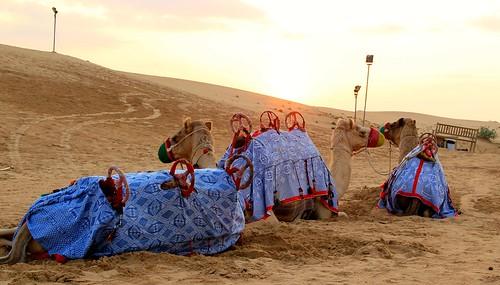 Sunset and Camels at Dessert Safari in Dubai