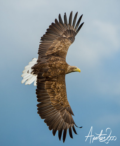 White Tailed Sea Eagle by TheApertureMan