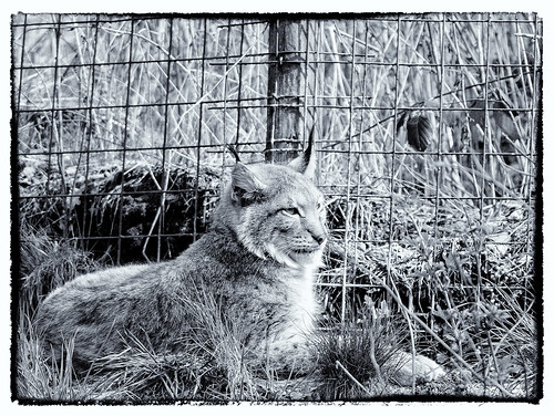 Luchs by OK's Pics