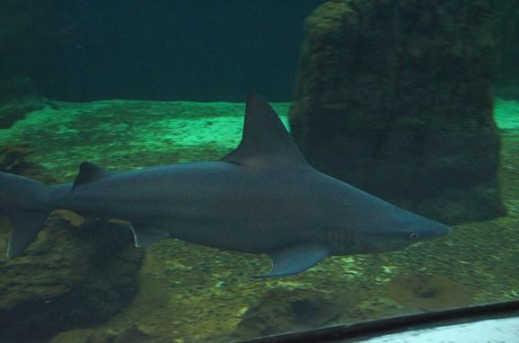 Shark in the tank