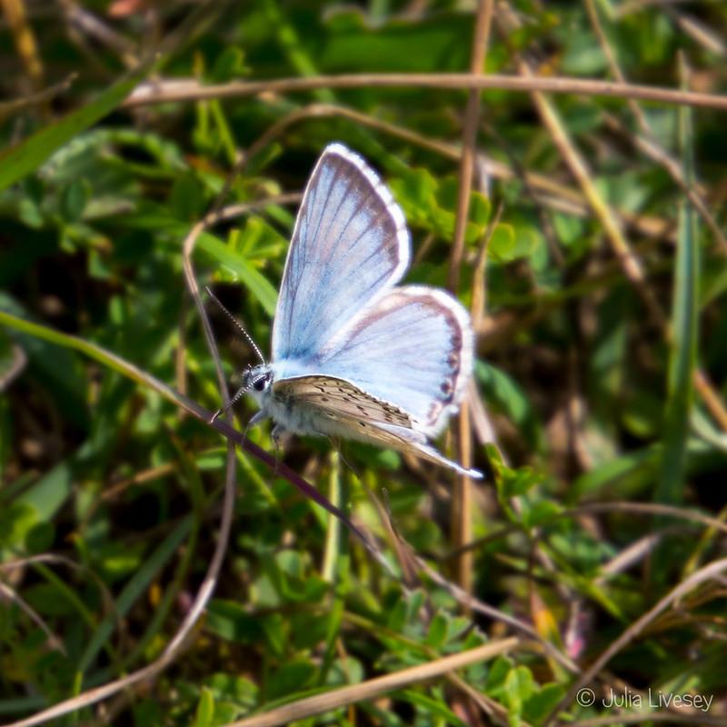 Chalkhill Blue Butterfly