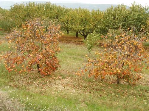 200510310046_persimmon-trees