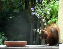 Eichhörnchen 1.1