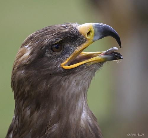 Eagle (Steinadler) 3.0
