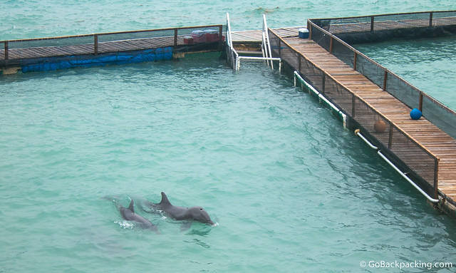 A baby dolphin born in captivity swims next to her mother