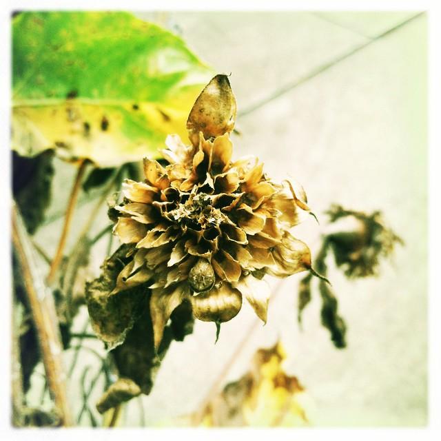 sunflower husks