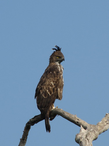 One of my favourites - Crested Hawk Eagle at Bundala