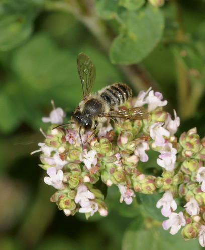 Bees on marjoram
