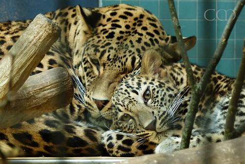 Awwl.. Little Shiva cuddles with mom...