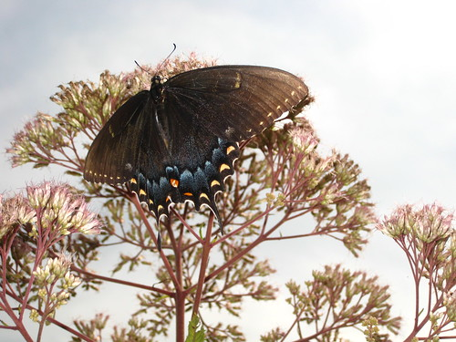 Swallowtail Butterfly and Joe Pye Weed by Rosa Blue