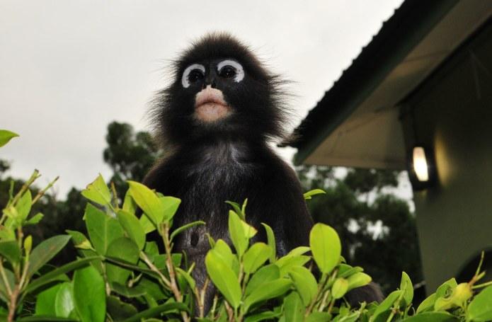 Dusky Leaf Monkey/ spectacled langur monkey