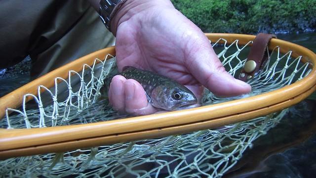 Iwana Mountain Trout