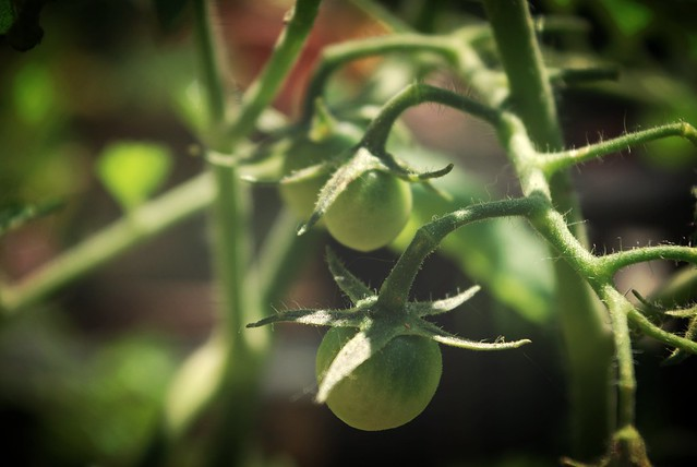 sunburst cherry tomatoes