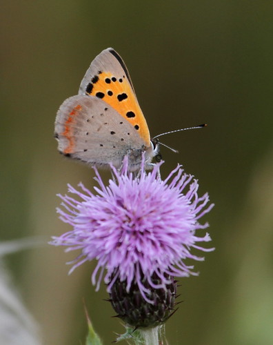 Small Copper (Lycaena phlaeas) on grass